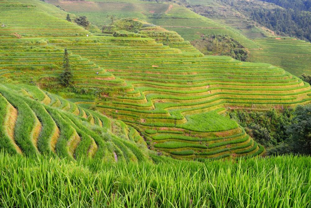 Image of rice paddies in Ping'an
