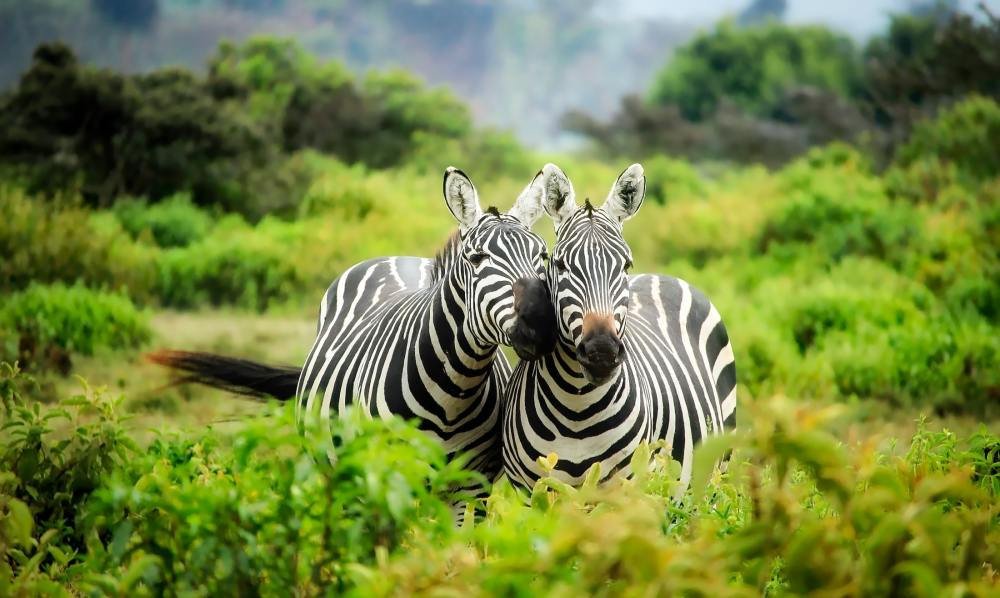 Photo of two zebras, one looking directly at the camera, the other one snuggling up to its mate