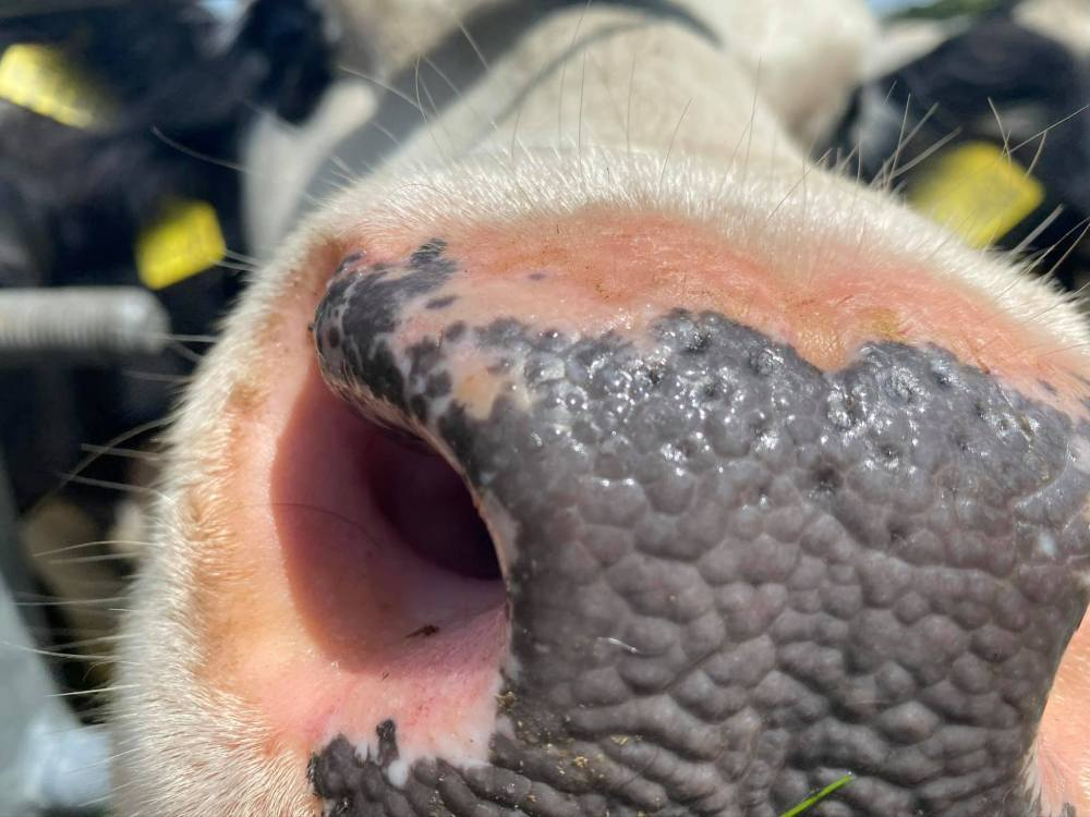 Picture of an inquisitive cows wet muzzle