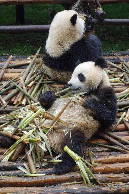 Panda lying on it's back with his stack of bamboo on his belly, lazily eating it as if it were popcorn!