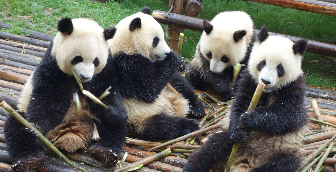 4 pandas enjoying a feast of bamboo
