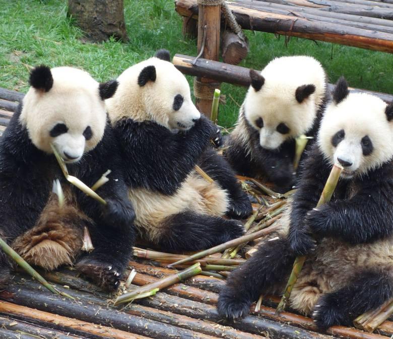 4 pandas enjoying a feast of bamboo