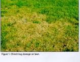 Chinch_Bug1