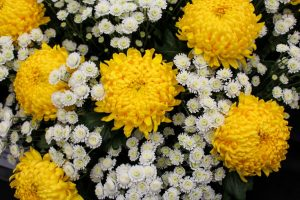 mums yellow and white