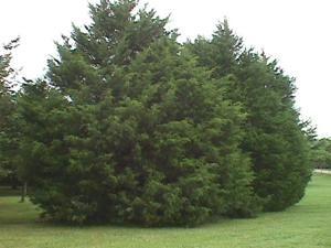 Southern Red Cedar Tree