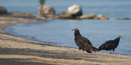 black vulture sea turtle predator