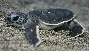green-turtle-baby