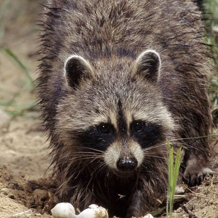 raccoon-eating-turtle-eggs