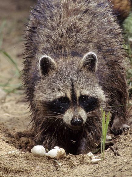 raccoon-eating-turtle-eggs