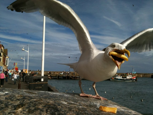 sea gull eating a french fry