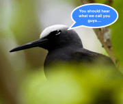The Black Noddy Tern - Nature's Winged Simpletons