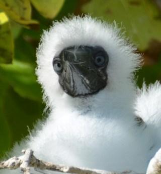 baby booby birds