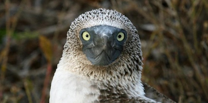 blue footed boobie close up face