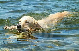 can a dog swim in the ocean