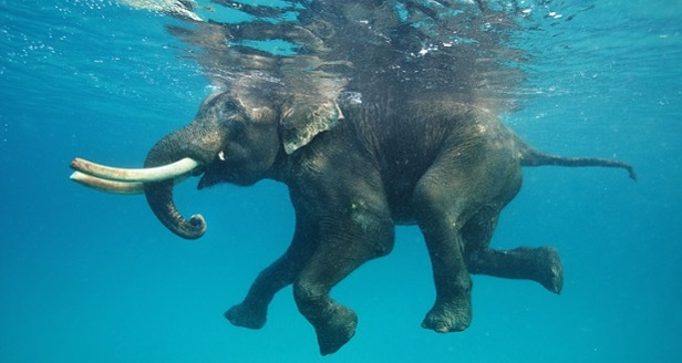 elephant swimming in the ocean
