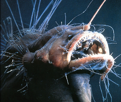 hairy_angler fish