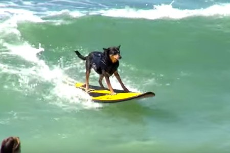 best dog surfing videos ever