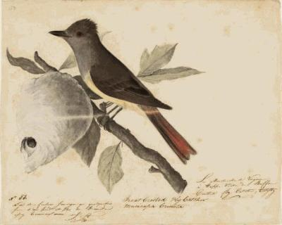 the birds of america john james audubon drawing style