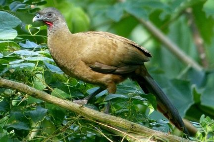 Cocrico the national bird of tobago