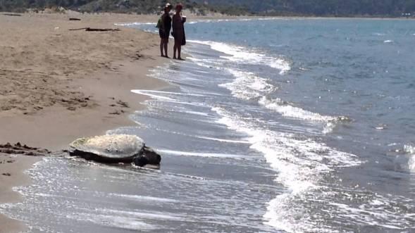turtle-iztuzu-turtle-loggerhead