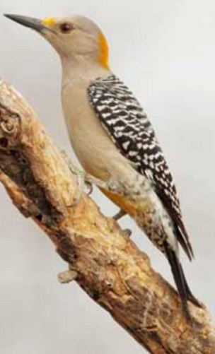 Golden front Woodpecker female