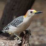 Golden-Fronted Woodpecker Facts And Info