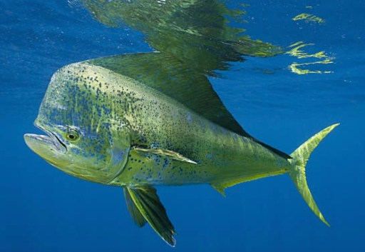 mahi mahi or dorado fish