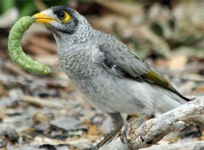bird eating worm