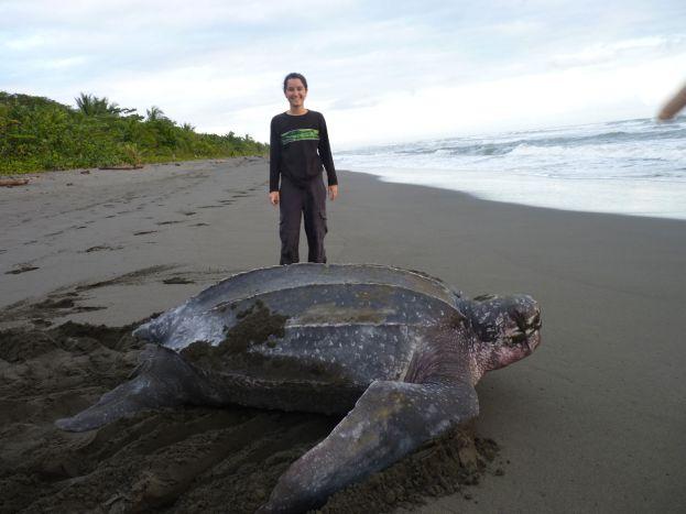leatherback sea turtle costa rica