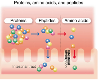 protein, peptide, and amino acid absorption