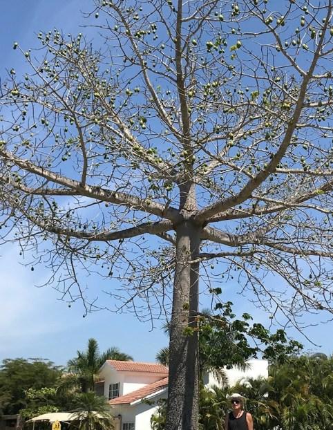 Ceiba or Kapok tree at Flamingos Sports Complex Bucerias