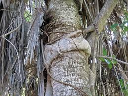 strangler fig strangles palm
