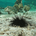 Sea Urchins: The Biology and Life Story of This Mysterious Ocean Floor Dweller