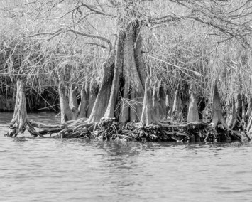 Cypress Tree and Stumps