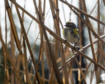 Finch in Reeds