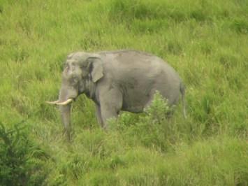wild elephants thailand