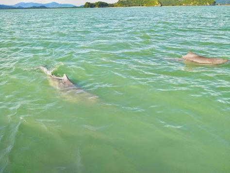 pink dolphins in Thailand