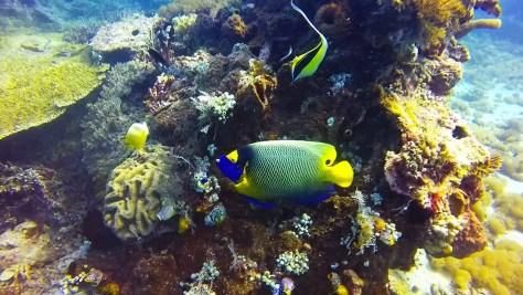 angel fish diving wreck dive in tulamben liberty bell