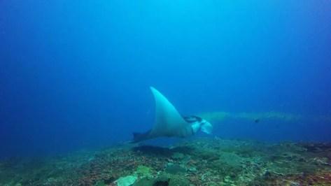 manta ray in nusa lembongan indonesia scuba diving