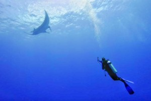 Cheap diving in the Maldives with oceanic manta rays