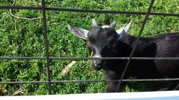 Baby Goats on Kent Island Farm