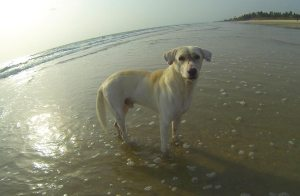 White beach dog standing in the shallow sea water of Goa