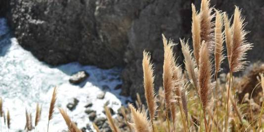 Close-up of wild grass with rocks and shore in the background at Ragged Point on the California coast