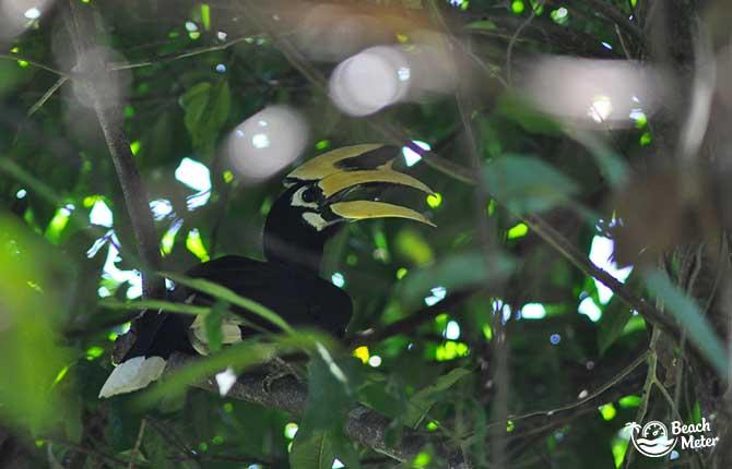 Black hornbill bird with yellow beak sitting on branch in Thailand
