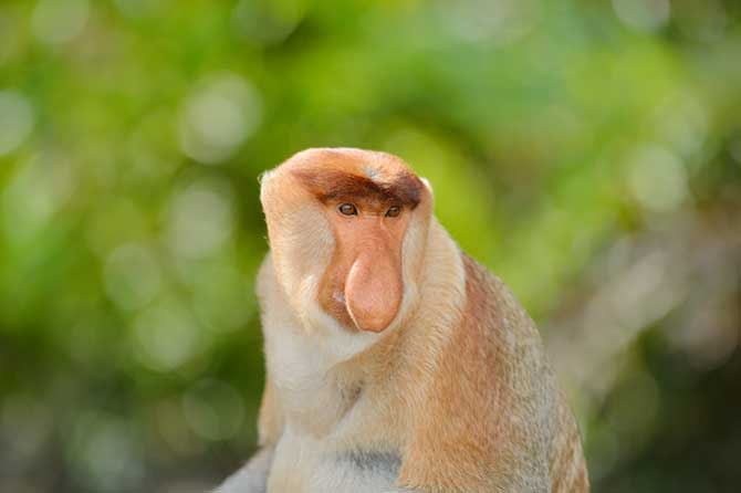 Male Proboscis Monkey (Nasalis larvatus) from Borneo.