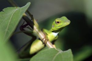 Green Crested lizard (Bronchocela-cristatella) sitting on a green plant in Nias Island, Indonesia