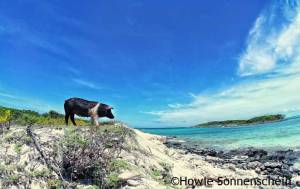 Pig standing at the bay overlooking the blue Exuma sea