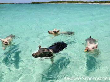Four swimming pigs of Exuma in the clear blue sea