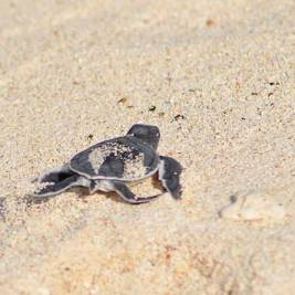 Baby turtle hatchling in the sand. Photo by Beachmeter.com.