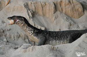 "Water monitor lizard with a turtle egg in its mouth on the beach at Selingan (""Turtle"") Island of Borneo. Photo by Beachmeter."